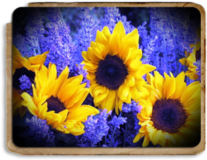 sunflowers-and-lavender